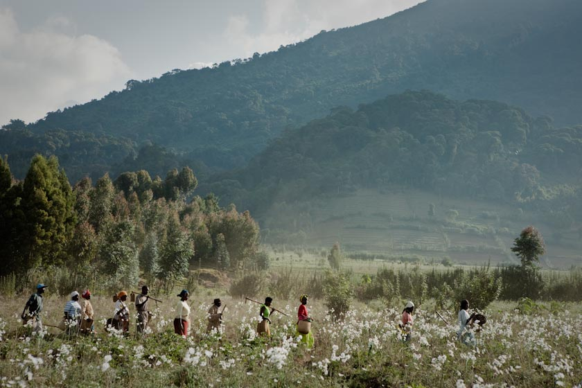 RWANDAN PYRETHRUM FLOWER HARVEST